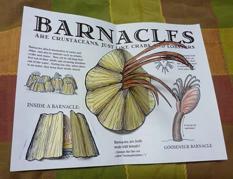 Anatomy of a barnacle