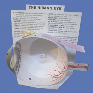 eye-model-final-png