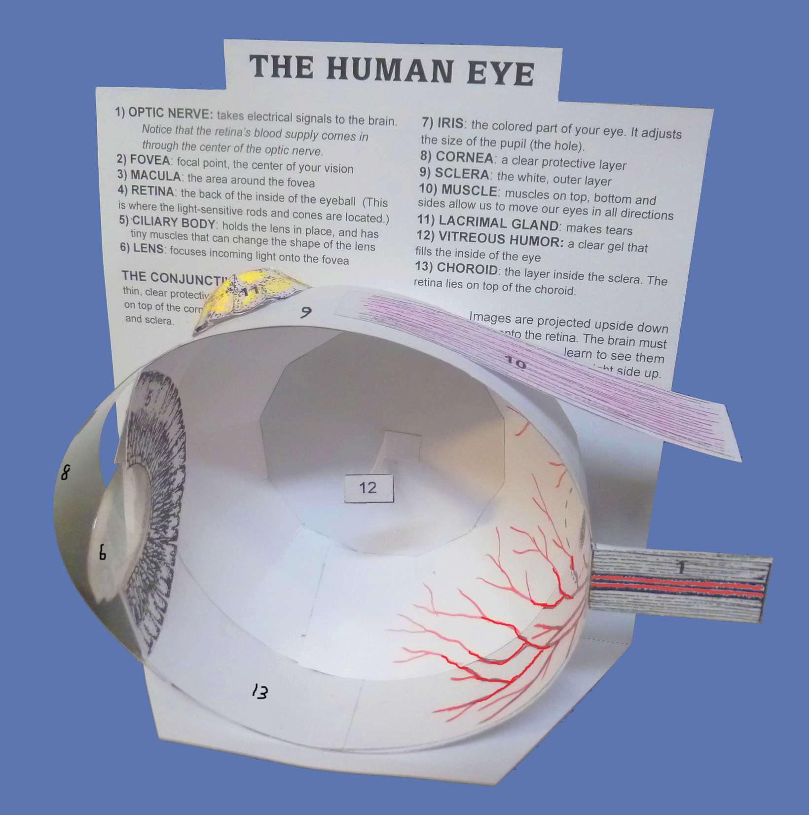 62: The eye (anatomy)