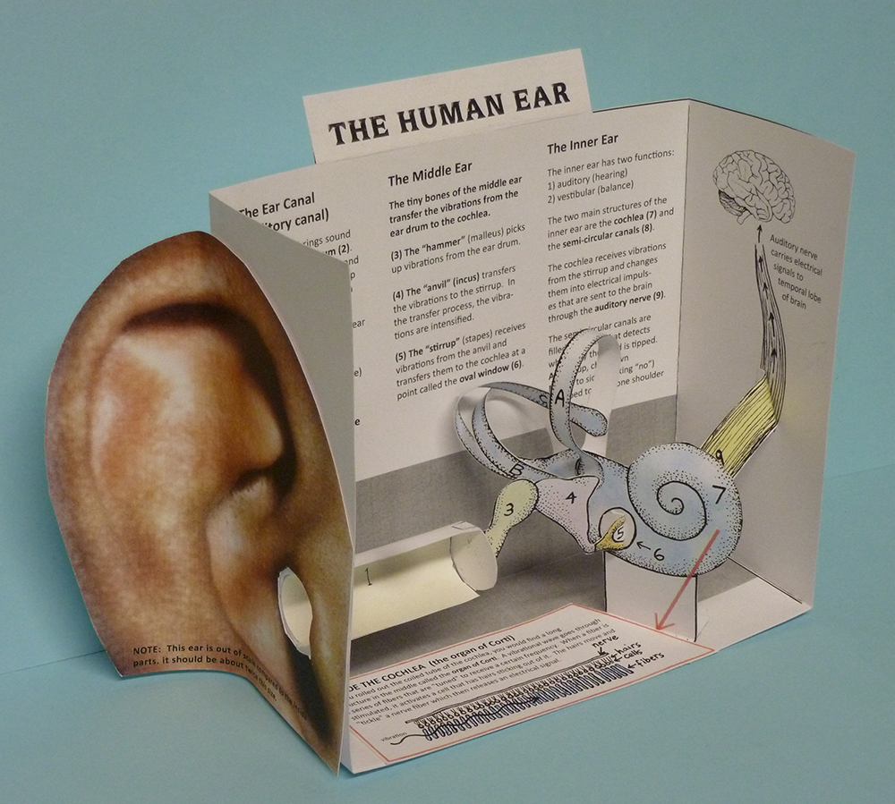 Cut-and-assemble paper model of the HUMAN EAR