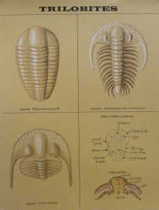 trilobite my drawing