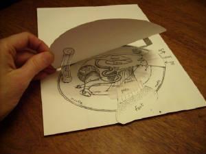 cutandassemble paper clam showing inside anatomy